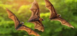 Ιπτάμενες αλεπούδες εν ώρα πτήσης
