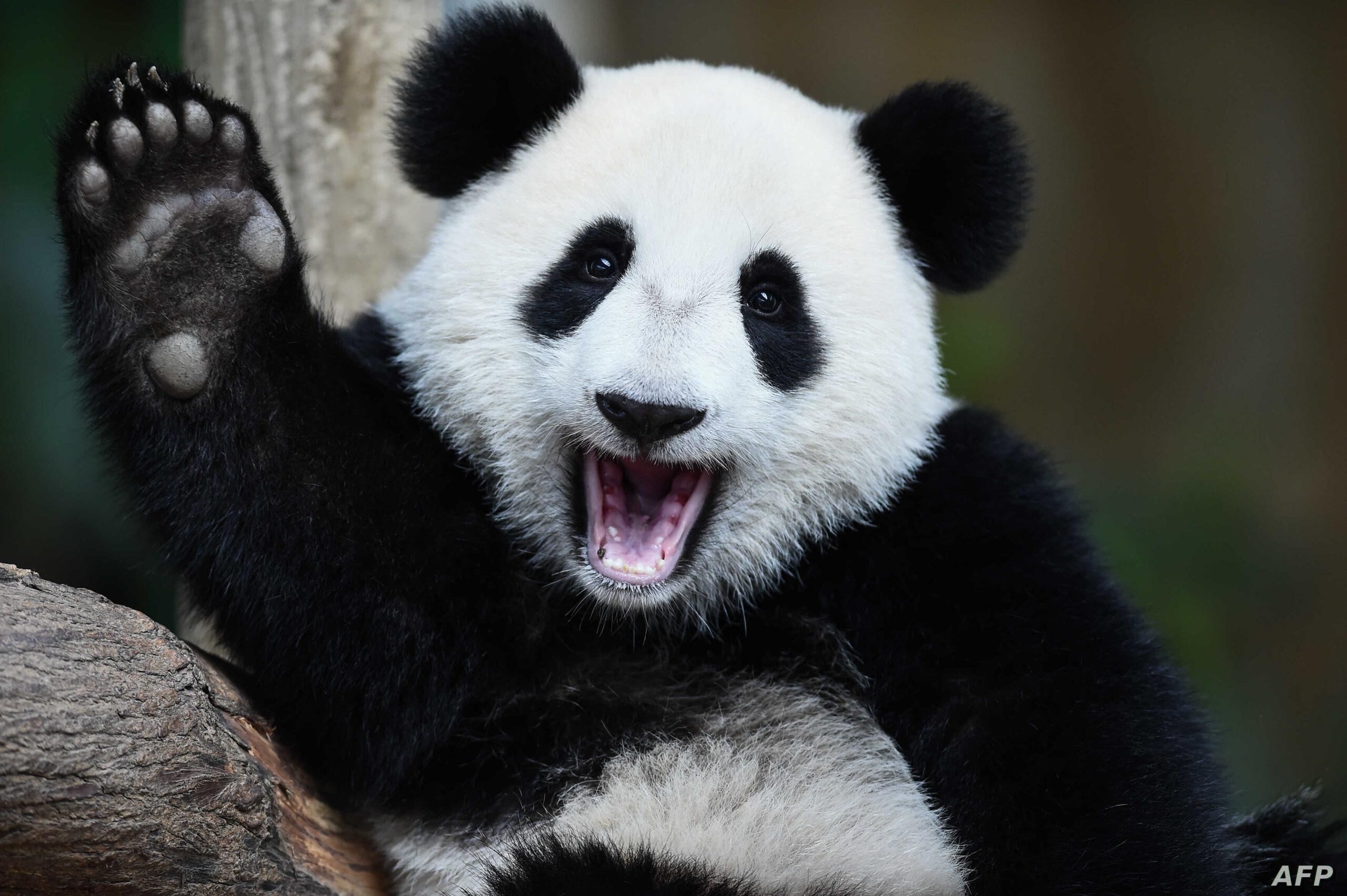 24 πράγματα που δεν γνωρίζατε για τα γιγαντιαία panda