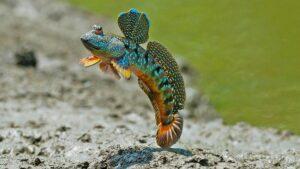 Μια αρσενική οξυδερκίνη χορεύει για να γοητεύσει το ταίρι του (©BBC)
