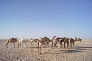 Μαυριτανία, η χώρα της καμήλας